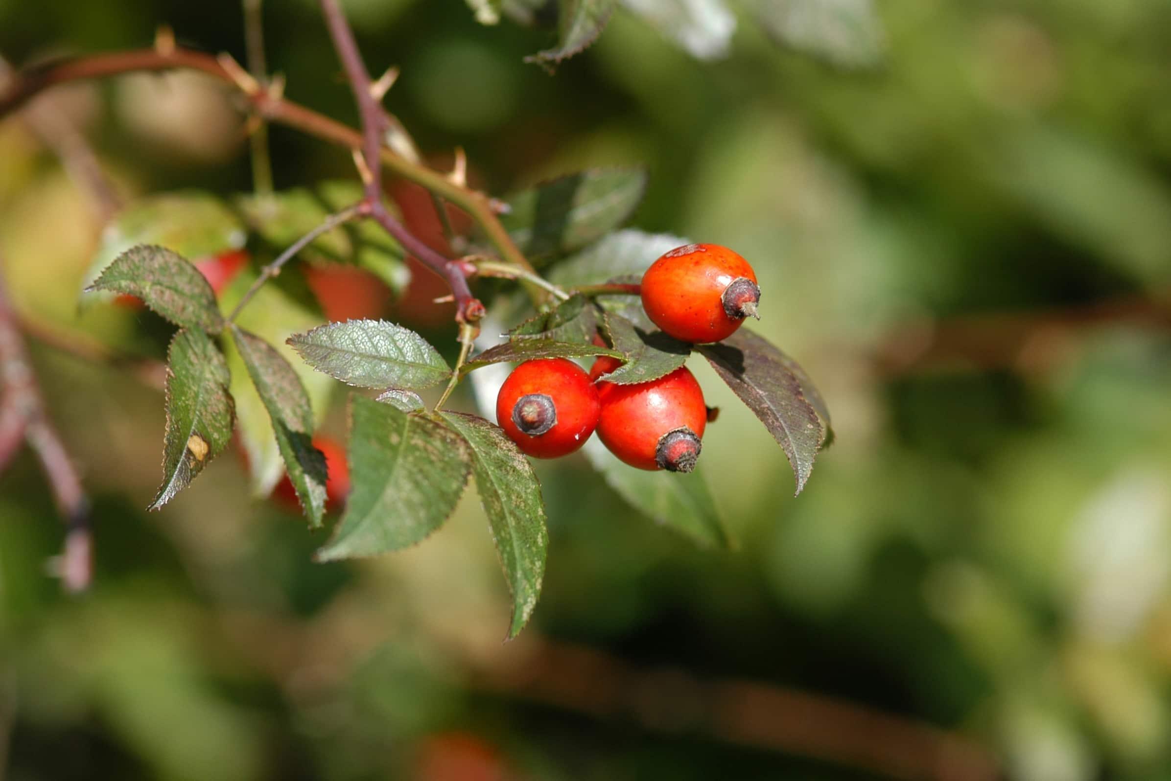 Herbst hagebutte (8)